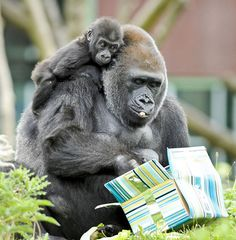 Kukena the baby western lowland gorilla clings to his mum Salome while she opens wrapped gifts of food intended for Kukena on his first birthday, at Bristol Zoo Gardens