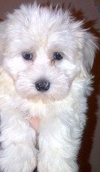 PLEASE HELP HIM! Randy is an adoptable Coton De Tulear Dog in Lincoln Park, NJ.