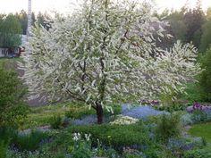 Koristekirsikka, Prunus (sivu:5)