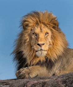 Stock Photos and Pictures Scary Animals, Nature Animals, Animals And Pets, Cute Animals, Lion And Lioness, Lion Of Judah, Lion Eyes, Tiger Artwork, Rare Animals