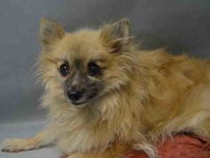 SUPER URGENT *SENIOR* 11/12/16 Brooklyn Center STORM – A1096605  FEMALE, TAN / BLACK, POMERANIAN MIX, 10 yrs STRAY – ONHOLDHERE, HOLD FOR ID Reason OWNER DIED Intake condition UNSPECIFIE Intake Date 11/12/2016, From NY 11417, DueOut Date 11/19/2016,