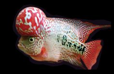 Another poor victim of cross breeding for cosmetic and financial gain, the hybrid Flowerhorn cichlid originated from crossing the Trimac cichlid with a whole host of other Central American cichlid species and seeing what came out. About a decade on those humps are getting seriously large – too large – and short bodied fish are also being favoured (which are missing vertebrae), but the unluckiest of all get their tails chopped off with no anaesthetic!