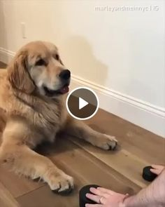 You feel helpless to control your dog ? Need our Secret to using your dog's natural intelligence to stop bad behavior? Click the link and enter your email NOW Cute Funny Animals, Cute Baby Animals, Animals And Pets, Cute Puppies, Cute Dogs, Dogs And Puppies, Funny Dog Videos, Funny Dogs, Tier Fotos