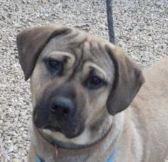 KAINE is an adoptable Mastiff Dog in Philadelphia, PA. KAINE (A16147971) Hi friend, thanks for taking the time to read my story! I was found wandering on my own and some nice people brought me to the ...