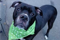 11/13/16 LISTED TO BE MURDERED BY NYCACC BY NOON TODAY!Manhattan Center ROSEVELT – A1095308 ***SAFER : AVERAGE HOME*** NEUTERED MALE, BLACK / WHITE, AM PIT BULL TER MIX, 4 yrs STRAY – STRAY WAIT, NO HOLD Reason STRAY Intake condition UNSPECIFIE Intake Date 10/30/2016, From NY 10001, DueOut Date 11/02/2016