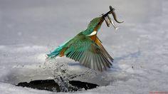 Beautiful Bird Catching Fish In Ice Wallpapers