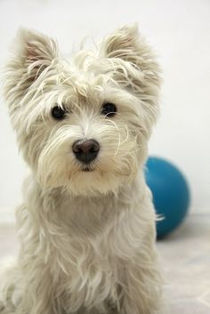 A Positively Beautiful Westie. Love this photo.