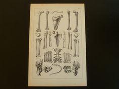 Old anatomy (re)print of bones - antique anatomical print of bones - arm leg bone vertebra thigh femur tibia shoulder blade vintage pictures