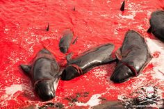 150 Pilot whales slaughtered on the beach at Bøur on Vagar Island. 4 Sea Shepherd crew arrested #OpGrindini