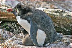 Rockhopper Penguin with baby