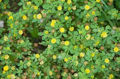 Low Hop Clover, Hop Trefoil, Field Clover: Edible parts: The flowers, leaves and seeds are edible. All clover types are known to be part of the paleo diet of the First Nations people. Flowers can be put into teas. Seeds (in autumn) can be collected and eaten as is or roasted and can be ground into flour as well. Leaves can be tossed into salads, omelets, juicing, sandwiches, etc.