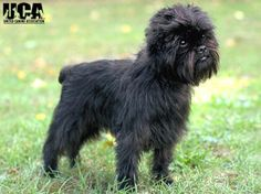 Affenpinscher Breed Information and Pictures - United Canine ...