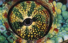 EYE OF THE PANTHER CHAMELEON by Daniel Heuclin -