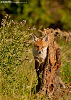 Red Fox by Graham Goddard