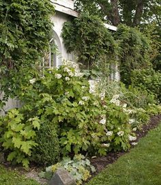 Oak-leaf hydrangeas and lady's mantle bloom in front of this old sugar shack, while wisteria vines punctuate the building's reclaimed windows. #gardens