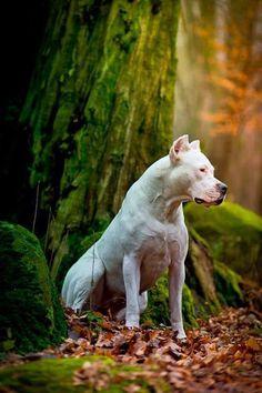 beautiful dog- dogo argentino