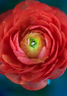 ~~Ranunculus by alan shapiro photography~~