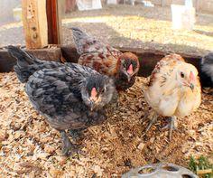 "My little ""bully gang"" of Easter Eggers   #69+years Hoover's Hatchery  #chicken  #backyard chicken  #pet chicken"