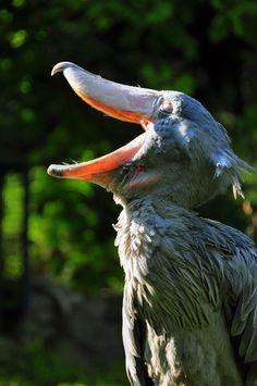 Schuhschnabel_(Balaeniceps_rex)_gaehnend)_-_Weltvogelpark_Walsrode_2010.jpg 2,848×4,288 ピクセル