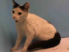 Manhattan Center     My name is MAPLE. My Animal ID # is A0964432.   I am a female white and black domestic sh mix. The shelter thinks I am about 1 YEAR 6 MONTHS old. For more info go to NYC Urgent Cats on Facebook.com