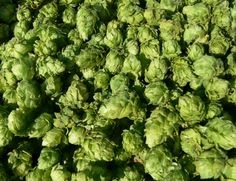 Harvested and dried hop cones.