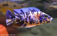 have 1 female (had 3 male) peacock (Aulonocara sp. x Ps. estherae OB) Named Mama and the Mob Squad Valle Del Rift, Male Peacock, Freshwater Aquarium Fish, Live Fish, African Cichlids, Tropical Fish, Under The Sea, Fresh Water, Creatures