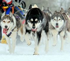 sled dogs....canine version of a peloton...love how they lay back their ears....aero