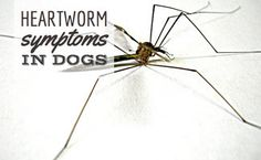 Heartworm is a serious disease that can be prevented. Learn the symptoms so you can detect it early. Remember the most important treatment is prevention.