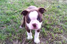 Brown Boston Terrier Puppies | Brown Boston Terriers