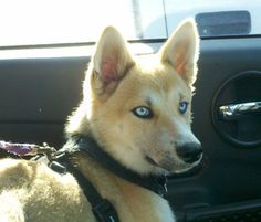 Picture of Arya, a female Shiba Inu/Alaskan Klee Kai Unique Dog Breeds, Rare Dog Breeds, Popular Dog Breeds, Shiba Inu Mix, Alaskan Klee Kai, Border Collie Mix, Arya, All Dogs, Dog Owners