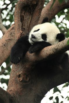 """Pandas from The National Zoo and the Atlanta Zoo were sent back to China today. I thought it might be a good occasion for a quick """"The Best…"""" list of sites about pandas that are a… Niedlicher Panda, Panda Love, Cute Panda, Animals And Pets, Baby Animals, Funny Animals, Cute Animals, Wild Animals, Beautiful Creatures"""
