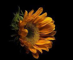 Mexican Sunflower, Sunflower Art, Sunflower Clipart, Sunflower Photography, Dark Photography, Digital Photography, Sunflower Pictures, Sunflower Wallpaper, Flower Phone Wallpaper