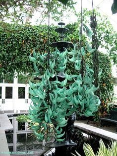 Full size picture of Jade Climber, Jade Vine, Emerald Creeper, Flor-de-Jade (Strongylodon macrobotrys)