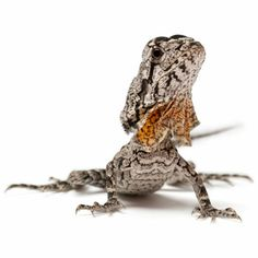 Pet Frilled Lizards