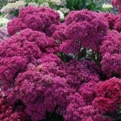 Sedum spectabile 'Mr. Goodbud'