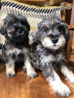 Pet Breeds, Puppy Breeds, Miniature Schnoodle, Cute Puppies, Dogs And Puppies, Schnoodle Puppy, Schnauzer Breed, Fierce Animals, Cutest Puppy Ever