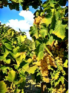Full and round grapes, in a shining yellow...that's Grillo of Contrada Terranova...wonderful!! #cronovendemmia #settesoli #vendemmia2013 #grillo #vinobianco #harvest #growers #winelovers #menfishire #sicily