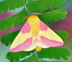 With bright yellow and pink coloured wings and body, the Rosy Maple Moth looks like a furry Battenberg cake designed by Mr Kipling. Rosy Maple Moth, Cute Moth, Pink Moth, Moon Moth, Art Folder, Pink Butterfly, Butterflies, Animal Sketches, African American Art