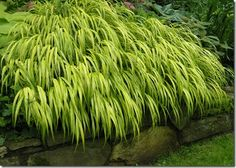 Japanese Hakone Grass grows vey well in part shade. Its golden leaves have a weeping effect and its brightness in the shade draws the eye. Twelve to eighteen inches tall, a tough plant that likes moist soil. Deer won't eat this one.