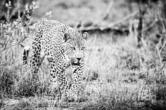 Leopard following a scent trail in the African bush..