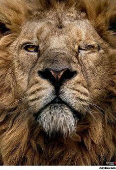 Bad ass lion