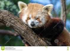 Red Panda Sleeping On A Tree Branch - Download From Over 48 Million High Quality Stock Photos, Images, Vectors. Sign up for FREE today. Image: 77636100