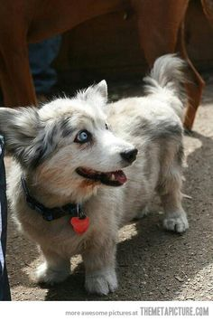 Two breeds in one: The Corgi-Husky…
