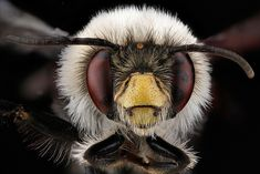 Anthophora-bomboides,-unkown,-face_2012-06-12-14.46.36-ZS-PMax | Flickr - Photo Sharing!