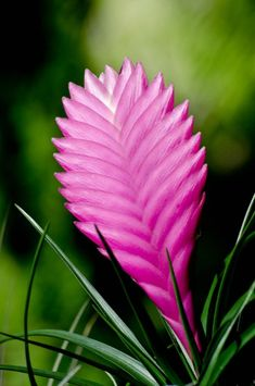Tillandsia cyanea, pink quill. An epiphytic bromeliad from Ecuador, it is common in tropical gardens. photo: stoplamek.