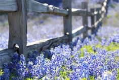 Everything You Need to Know About Texas Bluebonnets They are beautiful!