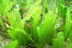 Algas marinas son buenas para la sinusitis: estudio