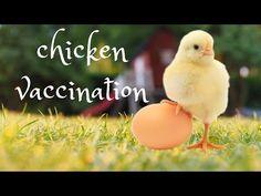 εμβολιασμός κοτόπουλου - chicken vaccination - YouTube