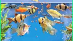 Ikan Neon menjadi pilihan karena memiliki banyak keunggulan. - Dunia Fauna , Hewan , Binatang & Tumbuhan Neon Tetra, Discus Fish, Guppy, Freshwater Fish, Fresh Water, Aquarium, Pets, Dan, Animals