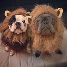 """ROAR, and stuff..."", reluctant French Bulldogs in Lion Costumes."